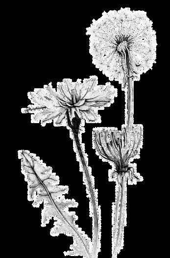 kisspng-common-dandelion-drawing-botanic