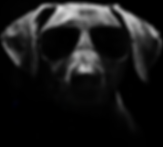 sinister looking german short haired pointer dog wearing sunglasses