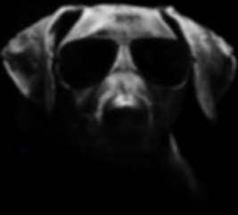 German short haired pointer wearing sunglasses looking sinister