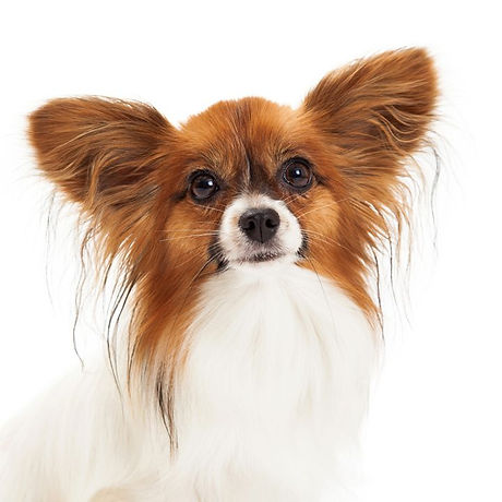 cute sable and white papillon dog on white background