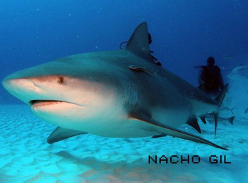 Basic recommendations to DIVE with the Bull Sharks in Playa del Carmen, Mexico