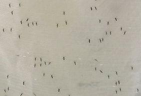 Mücken.jpg