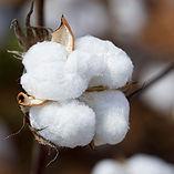 alabama-cotton-boll-kathy-clark.jpg