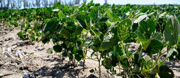 Las lluvias y el descenso de la temperatura aliviaron a la soja y al maíz