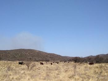 Cómo manejar el ganado después de los incendios