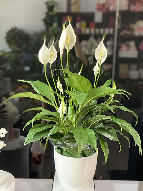 Peace lily plant with ceramic pot