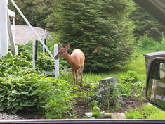 Southport Maine Deer