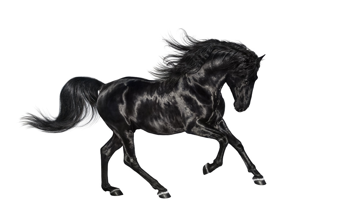 Galloping shiny black Andalusian stallio