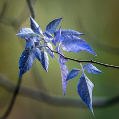 Blueleaves (1 of 1).jpg