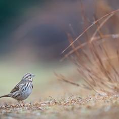SongSarrow.jpg