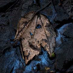 blueoilleaf (1 of 1).jpg