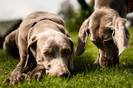 weimaraners_by_bphouse_20170122-1472_LOW
