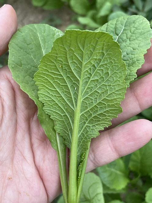 本地新鮮即割春菜苗 $45/斤