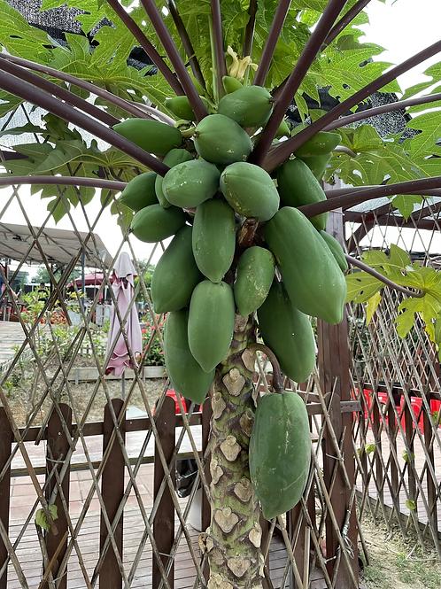本地新鮮即割 木瓜