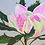 Thumbnail: Pink Passion Waratah