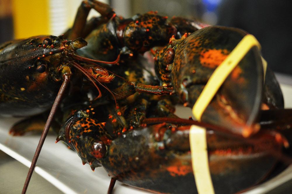 lobster-live.jpg