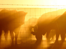 dusty cows cd.jpg