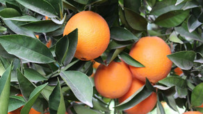 Valencia Orange Production Forecast At 20 Million Cartons