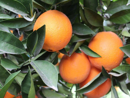Valencia Orange Production Forecast At 20 Million Cartons