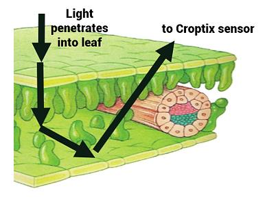 leaf diagram2.png