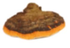 Mushroom - Chaga.png