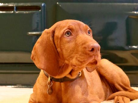 Yogi at 16 weeks