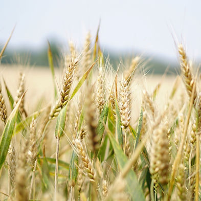 wheat-1556697_edited.jpg
