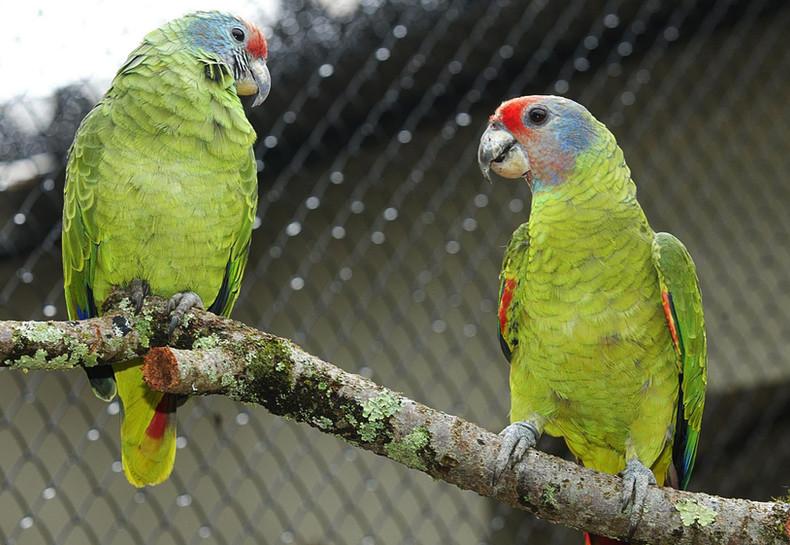 papagaio-crime.jpg