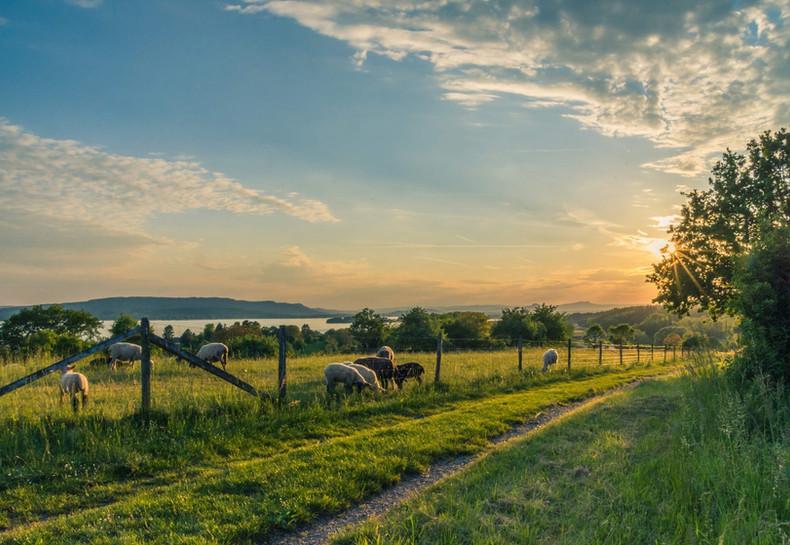 lake-constance-sheep-pasture-sheep-blue-