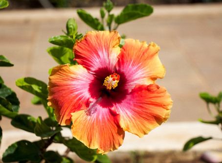 Une fleur Hawaïenne