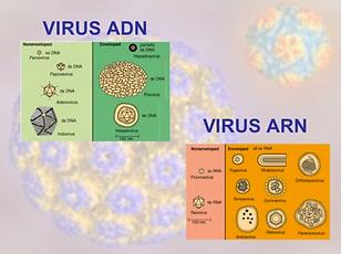 Virus adn -arn.png