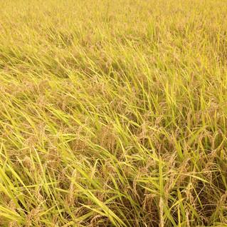 Rice field in  South Korea.