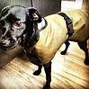 Dog Coats, Waterproof Dog Coats, Designer Dog Coats, Bespoke Dog Coats, Waterproof Made to Measure Dog Coats, Dog Coats for Great Danes, Dog Clothing, Dog Clothes