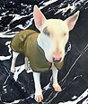 Bull Dog Dog Coats, Bull Terrier Dog Coats, English Bull Terrier Dog Coats UK, Made to Measure Bull Dog Coats, Waterproof Dog Coats for French Bull Dogs UK