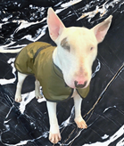 Check out this beautiful English Bull Terrier Wearing their Country Classic Dog Coat