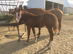 Alizas's '15 Smooth As A Cat Colt