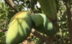 Egyptian mangoes