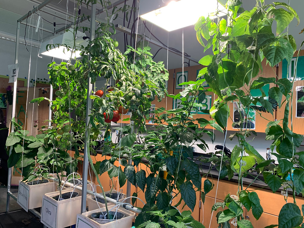 Tomato plants growing in the hydroponics lab