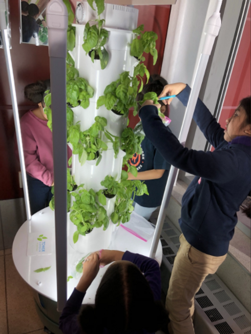 Students harvesting plants in the hydroponics lab
