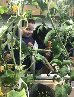 Students checking out tomatoes in the hydroponics lab