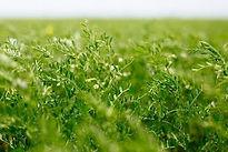 Lentil field.jpg