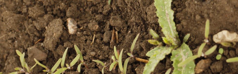 Merged quinoa seedlings