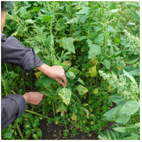 Weed and diseases in quinoa