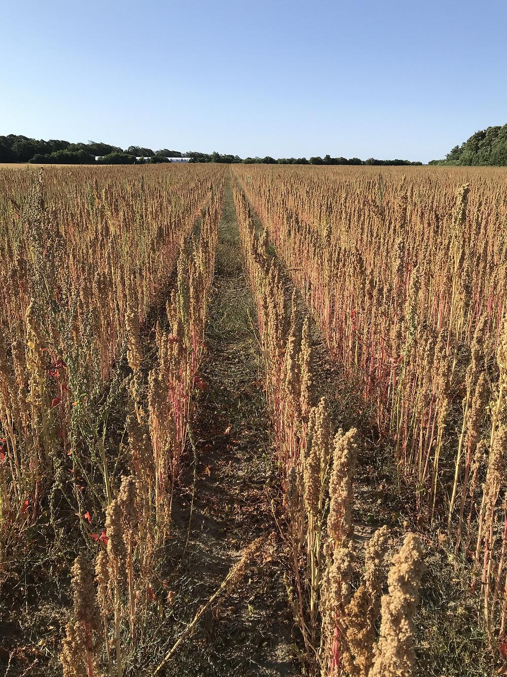 Quinoa field, Lolland, Denmark