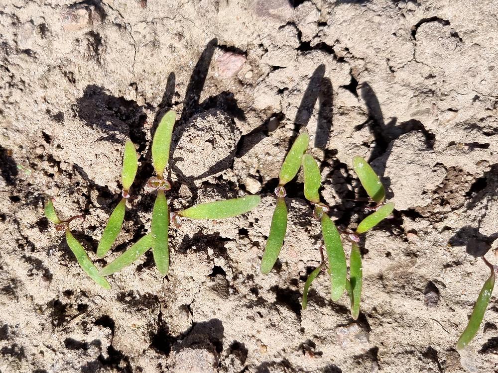 Quinoa sprouts