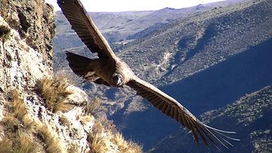 Valle del Sondondo Cóndor Andino