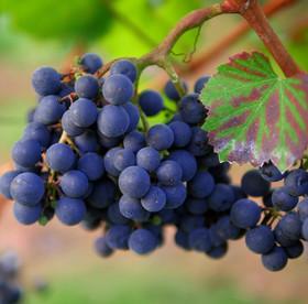 grapes-1717389_1920.jpg