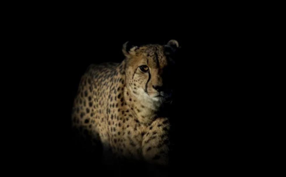 guepard 6.png