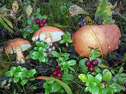 À la recherche de champignons arctiques