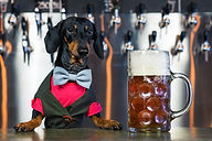 dog dachshund bartender, black and tan, in a bow tie and a suit at the bar counter sells a